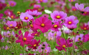 Picture summer, flowers, pink, a lot, cosmos