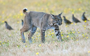Picture grass, look, birds, nature, pose, background, glade, walk, lynx, wild cat, sneaks