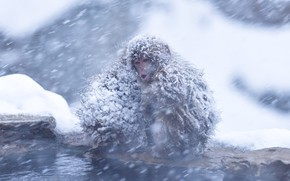 Picture cold, winter, water, snow, nature, pose, shore, two, wool, monkey, mouth, pair, monkey, monkeys, face, …