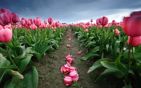 Picture flowers, spring, petals, tulips, pink, plantation, boundary