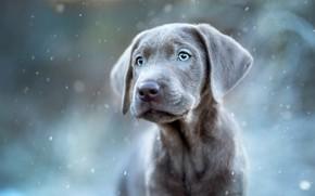Picture winter, look, portrait, puppy, snowfall, the Weimaraner