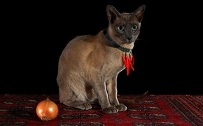 Picture cat, look, red, pose, carpet, necklace, pepper, black background, amulet, sharp, sitting, Siamese, hot pepper, …
