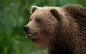 Picture look, face, portrait, bear, Kodiak