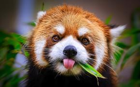 Picture nature, background, Panda
