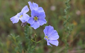 Picture the steppe, blue, Flower