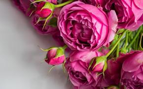 Picture close-up, roses, bouquet