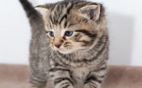 Picture cat, kitty, grey, background, baby, is, kitty, striped, cutie, British, ponytail