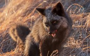 Picture language, face, branches, nature, portrait, Fox, Fox, Fox, silver, silver Fox