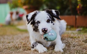 Picture autumn, grass, toy, the fence, dog, yard, lies, hole, nibbles, smiley, rodent, Aussie