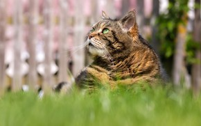 Picture cat, grass, cat, look, face, grey, the fence, portrait, sitting, striped, green eyes, bokeh, thick, …