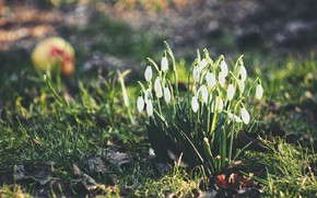 Picture nature, spring, snowdrops