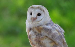 Picture owl, bird, portrait, the barn owl