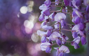 Picture flowers, lilac, bokeh, Wisteria, Wisteria