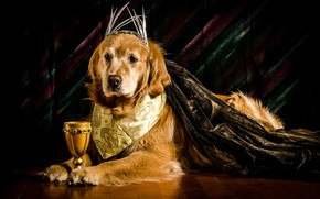 Picture face, background, glass, paws, outfit, lies, Golden, on the floor, Retriever