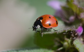 Picture macro, flowers, green, background, leaf, ladybug, beetle, insect