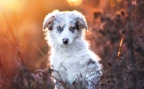 Wallpaper autumn, look, leaves, light, nature, portrait, dog, plants, baby, puppy, face, bokeh, Australian shepherd, Aussie