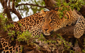 Picture branches, tree, leopard