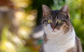 Picture cat, cat, look, face, light, grey, background, portrait, striped, bokeh, white, white breast