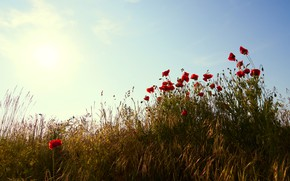 Picture field, summer, the sky, the sun, light, flowers, rye, Maki, the evening, morning, meadow, red, …
