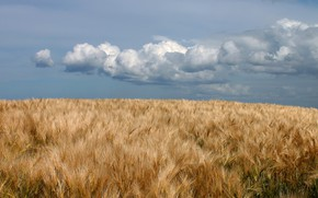 Picture field, clouds, ears