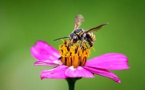 Picture flower, macro, bee, zinnia, Rodrigo Godinez