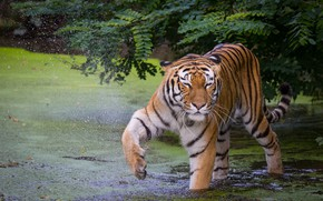 Picture tiger, pose, paw, bathing, pond