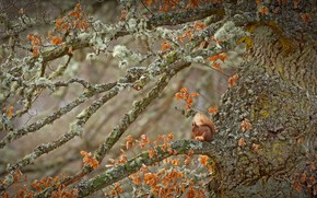 Picture tree, Scotland, rodent, red squirrel