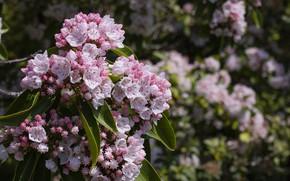 Picture branch, spring, flowering, kalmia