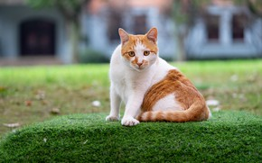 Picture cat, grass, cat, look, face, pose, house, lawn, glade, Windows, red, sitting, lawn, spotted