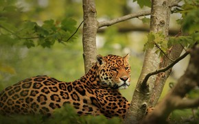 Picture look, trees, nature, pose, stay, lies, Jaguar