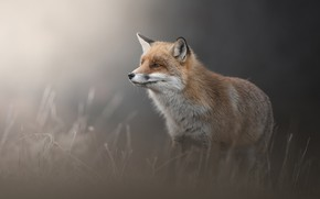 Picture look, face, nature, pose, Fox, profile, grey background, dry grass