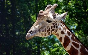 Picture face, the dark background, giraffe, Portet