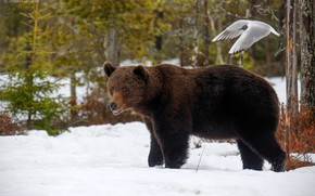 Picture winter, forest, snow, trees, nature, bird, bear, bokeh, brown