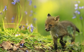 Picture look, leaves, flowers, nature, background, small, baby, Fox, walk, bells, Fox, Fox, silly
