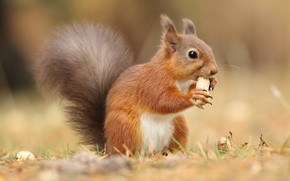 Picture grass, look, nature, pose, background, walnut, protein, red, sitting, cutie, lunch, rodent, peanuts, meal