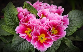 Picture leaves, flowers, bright, pink, spring, Primula