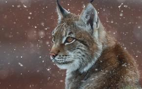 Picture face, snow, portrait, lynx, wild cat, Oleg Bogdanov