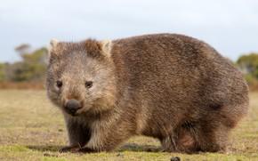 Picture Australia, animal, mammals, chord, marsupials, chubby, Wombat, dvortsovye, ambatovy