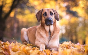 Picture autumn, look, face, leaves, nature, foliage, dog, shepherd