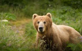 Wallpaper grass, look, face, nature, glade, portrait, bear, meadow, bear, bear, young, brown, teen