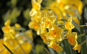 Picture yellow, spring, daffodils, spring flowers, Easter bells