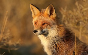 Picture look, face, Fox, red, bokeh
