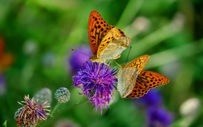 Picture greens, flower, summer, macro, butterfly, flowers, insects, background, lilac, two, pair, red, a couple, Duo, …