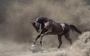 Picture look, face, nature, pose, fog, background, horse, black, horse, smoke, Shine, stallion, treatment, dust, couples, …