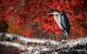Picture nature, bird, Ardea herodias, Great Blue Heron, Great blue heron