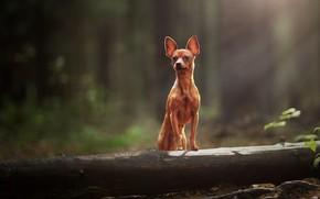 Picture dog, log, bokeh, doggie, dog, Miniature Pinscher