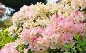 Picture Bush, beauty, rhododendron, Azalea