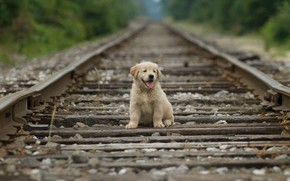 Picture rails, puppy, puppy, rails, Golden Retriever, golden retriever, Stan Fellerman