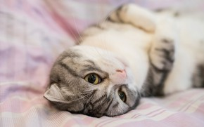 Picture cat, eyes, cat, look, sweetheart, bed, portrait, muzzle, bed, lies, grey, pink background, striped, nyasha, ...