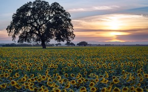 Picture field, sunflowers, sunset, tree